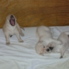Blindfaith Puppies 2009
