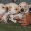 Ziva\'s First Litter 2012